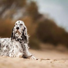14 Amazing Facts About English Setters English Setter, Hunting Dogs, Dogs Of The World, Puppy Love, Fur Babies, Dog Breeds, Fun Facts, Lion Sculpture, Cute Animals