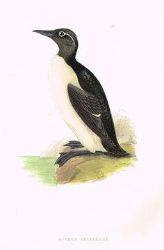 "Morris's Birds - ""RINGED GUILLEMOT"" - Hand Colored Wood Engraving - 1895"