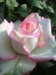 Delicate rose. Beautiful