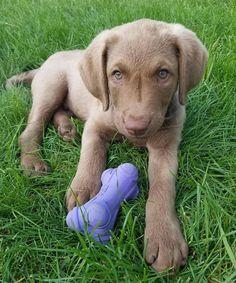 Meet Spartacus, adorable cute Chocolate Lab puppy