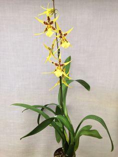 Brassidium urchin esque orchid - Google Search