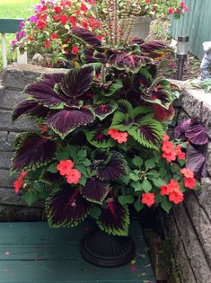 Coleus with Impatiens. It's not winter hardy, so you would replace with pansies during the cold season. Bonus: Hummingbirds love the coleus flowers. Container Flowers, Container Plants, Container Gardening, Outdoor Plants, Outdoor Gardens, Outdoor Pool, Plants Indoor, Coleus, The Secret Garden