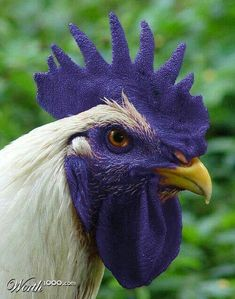 A Purple Rooster Fancy Chickens, Chickens And Roosters, Chickens Backyard, Pretty Birds, Beautiful Birds, Animals Beautiful, Farm Animals, Animals And Pets, Cute Animals