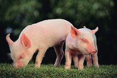 Yorkshire Piglets can get sunburned easily