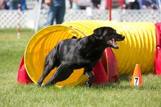 Swift at the AAC National Agility Championships...