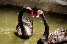 Animales, cisne, rojo, negro, zoologico, pico, lago, pareja, plumas, Animals, swan, red, black, zoo, peak, lake, couple, feathers, agua, water