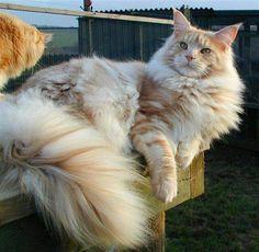 Ik heb een rode Maincoon/ Noorse boskat Garfield. Hij lijkt sprekend op de kat van de foto.