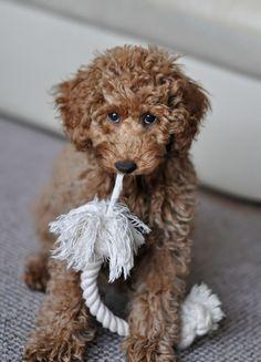 Poodle miniature, apricot, puppy, innocent, Nico,3.5 months https://www.facebook.com/niconki/