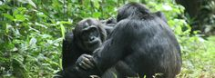 While #Bwindi is the best park in #Uganda to see mountain gorillas, #Kibale has the country's largest population of #chimps: up to 1,450 at the last count. For close contact with these active and fascinating creatures, Kibale #Forest National Park is an essential stop on any Ugandan #safari. However, chimps are not the only primates here: they are only one of 13 species in the park. #Africa