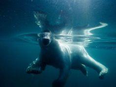 Un oso polar nadando en la bahía dell Parque Nacional de Ukkusiksalik Nanavut. Fotografía de Flip Nicklin.