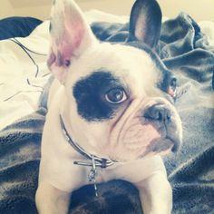 Hina, the French Bulldog