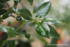 A closer look at the leaves of Ilex 'Nellie R. Stevens'.