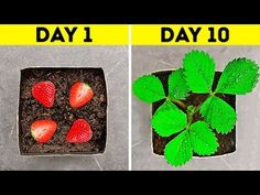 GARDENING FOR BEGINNERS If you are dreaming about the garden this video is totally for you! You will find easy instructions on how to easily grow different plants. You will learn how to grow watermelon, pumpkin, onion, cucumbers from seeds. Regrow Vegetables, Growing Vegetables, Gardening Vegetables, Gardening For Beginners, Gardening Tips, Growing Herbs At Home, Growing Plants, How To Grow Watermelon, How To Grow Strawberries