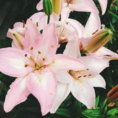 Lilies - Summer Flowers of Instagram