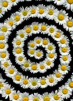 55368.01 Leucanthemum vulgare | Flickr - Photo Sharing!