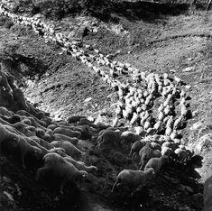 Robert Doisneau The Paths of Transhumance Robert Doisneau, French Photographers, Street Photographers, Henri Cartier Bresson, Sabine Weiss, Brassai, Herding Dogs, Basque Country, Documentary Photography