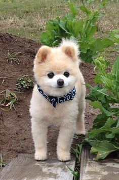 Pomeranian Haircut - Check out these awesome ways you can make your Pomeranian look super stylish! Here are the Top 10 Pomeranian haircut ideas for Pomeranian Haircut, Pomeranian Facts, Pomeranian Breed, Cute Pomeranian, Pomeranians, Animals And Pets, Baby Animals, Cute Animals, Cute Puppies