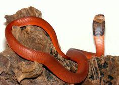 A World of Snakes.: Naja pallida (Venomous) Known as red spitting cobra Snake Eating Snake, Snake Art, Reptiles, Amphibians, Lizards, King Cobra Snake, Spiders And Snakes, Burmese Python, Colorful Snakes