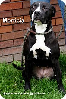 Cleveland, OH - Pit Bull Terrier Mix. Meet Morticia-Urgent!!, a dog for adoption. http://www.adoptapet.com/pet/11785820-cleveland-ohio-pit-bull-terrier-mix