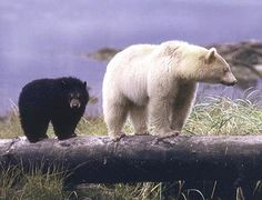Kermode bear with her cub. I have been fascinated wtih spirit bears ever since reading a National Geographic article on them earlier this year.