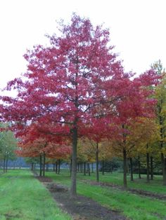 Quercus palustris #tree #autumn #colours www.vdberk.co.uk