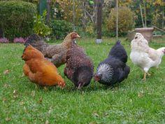 glückliche Zwerghühner im Garten, Hühner halten als Haustiere, Hühnerhaltung in Wohngebieten