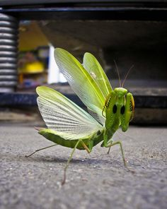 mantis in the city