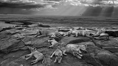 A black and white image of lions resting on a rock outcrop in the Serengeti has won the 2014 Wildlife Photographer of the Year award.