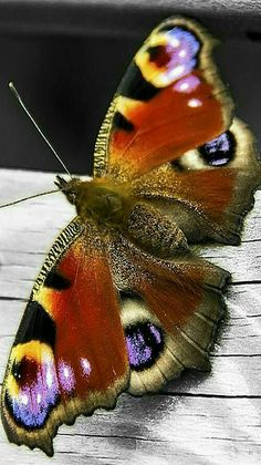 Butterfly - Common Peacock butterflies are from Europe.