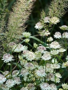 Stjärnflockans, Astrantia major ssp. involucrata 'Canneman', knappformade blommor i skir förening med diamantrörets, Calamagrostis brachytricha, sirliga plymer ger ett lugnt och återhållsamt intryck med sina bleka färger ton i ton. Båda är så här vackra fortfarande i mitten av oktober då bilden är tagen i Drömparken.