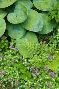 Pretty shade garden of Lamium maculatum in flower and hosta and fern in shade garden