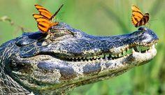#alligator #blue #butterflies
