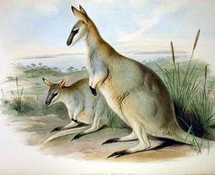 Wallaby-toolache (Macropus greyi) - extinto em 1943. Era um canguru originário do sudoeste da Austrália. Entrou em extinção por causa da caça à pele. http://super.abril.com.br/galerias-fotos/conheca-15-animais-foram-extintos-ultimos-250-anos-692346.shtml