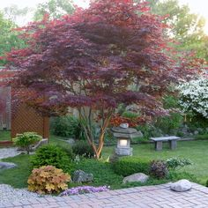 Japanese Maple (Acer palmatum)