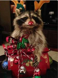 Rudolph the Raccoon Christmas Taxidermy Mount on Slay with Lights and Presents Rocky Raccoon, Pet Raccoon, Rare Animals, Animals And Pets, Funny Animals, Strange Animals, Christmas Animals, Christmas Tree, Cute Animal Pictures