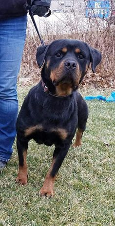 Meet Branka, an adoptable Rottweiler looking for a forever home. If you're looking for a new pet to adopt or want information on how to get involved with adoptable pets, Petfinder.com is a great resource.