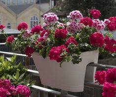 fot. Pelargonium for Europe