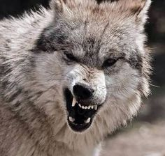 Snarling Wolf, Wolf Love, Pose Reference, Wild Animals, Wolves, Polar Bear, Marines, Angels, Wildlife