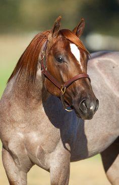 Red roan quarter horse stallion