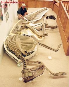 """Dubbed """"Elvis"""" by Murphy, this fully articulated specimen was exposed on the face of a hillside 15 miles north of Malta, Montana, in Phillips County. elvis5 Adding to the uniqueness of this fossil is the fact that Elvis is the first three-dimensional hadrosaur ever recovered. Skeletons are usually crushed by tons of earth, which distorts their bones. However, this brachylophosaurus was quickly covered in sand when it died, with sand also filling the rib cage cavity. The animal is so well…"""