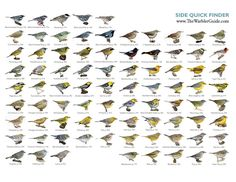Side View Quick Finder from The Warbler Guide, downloads in PDF or JPG at Princeton University Press Blog
