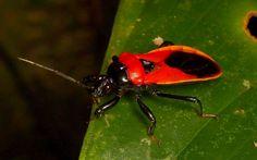 Leaf-footed Bug, Coreidae