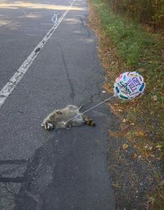 "A raccoon lies dead on the road, holding a ""get well soon"" balloon"