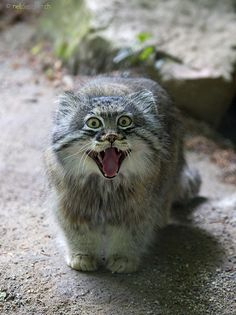 Pallas Cat. Probably a zoo captive. So sorry, cat. You deserve better than a cage.