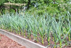grow garlic 2012