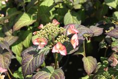 HYDRANGEA macrophylla Dolce® Kiss 'Dolkis' Hydrangea Macrophylla, Kiss, Plants, A Kiss, Plant, Kisses, Hydrangeas, Planting, Planets