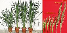 GMO golden rice shows stunted and abnormal growth with reduced grain yield