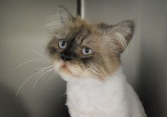 Tommy is an adoptable Himalayan Cat in Lunenburg, MA. My name is Tommy and I was found as a stray kitty. I was taken in by a wonderful woman who provided me with food and shelter till she was able to ...
