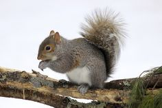 Eastern grey squirrels stay warm at night in nests. They will use existing tree cavities, but if none are available they will build a leaf ball home called a 'drey'. Flying Squirrel Pet, Squirrel Home, Eastern Gray Squirrel, Weird But True, Save Animals, In The Tree, Nests, Nature Animals