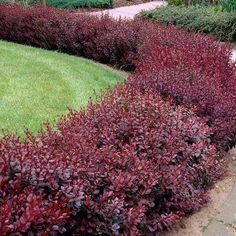 Red Leaf Barberry Hedge – along the edge of the drive? maybe with crepe myrtles too? Red Leaf Barberry Hedge – along the edge of the drive? maybe with crepe myrtles too? Garden Shrubs, Shade Garden, Outdoor Plants, Outdoor Gardens, Small Gardens, Landscape Design, Garden Design, Spring Hill Nursery, Shade Flowers